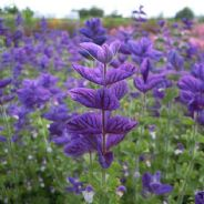 Clary - Oxford Blue - 100 seeds - 300 seeds